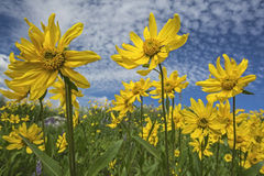 Heartleaf Arnica cordifolia montana. Is a native species  in the high mountains of the western states of USA.  They tend to reach for the blue sky and clouds Stock Photography
