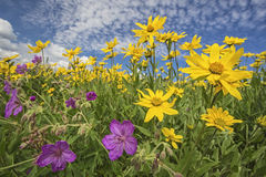 Heartleaf Arnica cordifolia and Sticky Geranium vi. Heartleaf Arnica cordifolia and purple Sticky Geranium viscosissimum wildflowers are prolific in the high Royalty Free Stock Photography