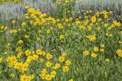 Heartleaf-Arnika cordifolia Montana Lizenzfreie Stockbilder