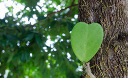 Heartleaf Stock Photo