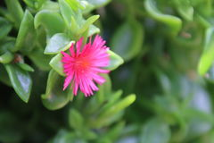 Heartleaf Ice Plant Royalty Free Stock Images