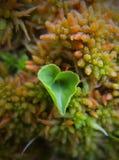 Heartleaf in mos stock fotografie