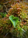 Heartleaf in moss Stock Photography