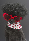 Hearts and Afro On Poodle Royalty Free Stock Photos