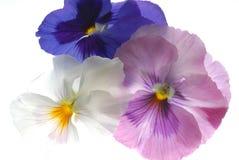 Hearts-ease. Hearts ease flowers on light box stock image