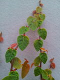 Hearts. Plants in heart shape on the white wall Royalty Free Stock Photo