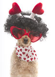 Hearts On A Poodle with Big Hair Royalty Free Stock Photography