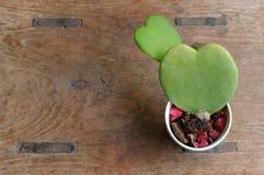 2 hearts of sweetheart plant stock photo