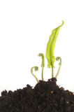 Hearts tongue fern. Fronds emerging from soil Royalty Free Stock Photos