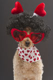 Hearts Worn By A Poodle Royalty Free Stock Images