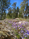 Heartsease στο δάσος Στοκ φωτογραφία με δικαίωμα ελεύθερης χρήσης