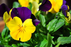 Heartsease photographie stock