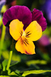Heartsease Royalty Free Stock Photo