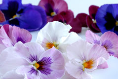 Heartsease Stock Photos