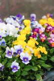 Heartsease altfiol eller violett royaltyfri foto