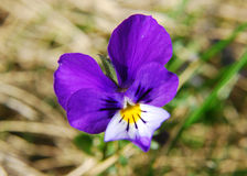 Heartsease (Altviool Tricolor) Royalty-vrije Stock Foto's