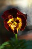 A heartsease Royalty Free Stock Photography