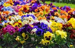 Heartsease, bloemtuin - close-up Royalty-vrije Stock Foto's
