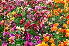 Heartsease blommaträdgård Royaltyfria Foton
