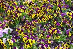 Heartsease blommaträdgård Royaltyfri Bild