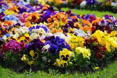 Heartsease blommaträdgård - närbild, blomsterrabatt Royaltyfri Bild