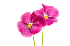 Heartsease delicate beautiful pink flower. On white background Stock Photos