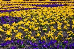 Heartsease, flower garden. Royalty Free Stock Photo