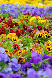 Heartsease, flower garden Royalty Free Stock Photo