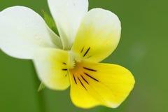 Heartsease macro. Heartsease, Viola Tricolor, against a blurred green background Stock Image