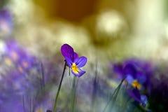 Heartsease on a meadow. Beautiful macro photo Stock Images