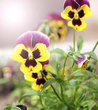 Heartsease in the sunlight stock image