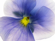 Heartsease transparent Photographie stock