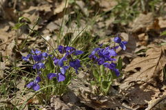 Heartsease or Viola tricolor blooming in the glade Stock Photography