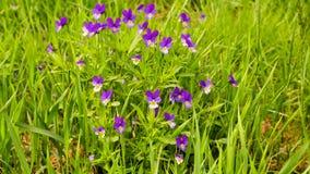 Heartsease Viola tricolor stock video footage