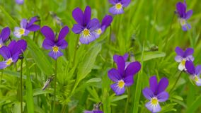 Heartsease Viola tricolor stock video