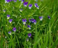 Heartsease Viola tricolor close-up. At pechora Stock Image