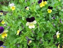 Heartsease, Viola tricolor. Heartsease with flowers, Viola tricolor Royalty Free Stock Image