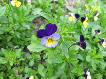 Heartsease, Viola tricolor. Heartsease with flowers, Viola tricolor Stock Photography