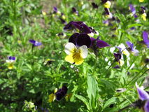 Heartsease, viola tricolor Stock Photos