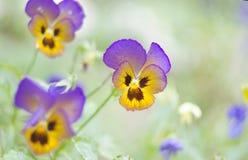 Heartsease -Viola tricolor- in garden. Close up. Natural background. Heartsease Viola tricolor in garden. Close up. Natural background Royalty Free Stock Photography