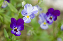 Heartsease -Viola tricolor- in garden. Close up. Natural background Royalty Free Stock Photography