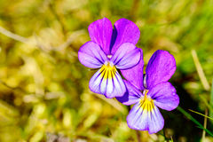 Heartsease. (Viola tricolor). Here are two fine flowers against a greenish background.  is edible and medicinal Stock Photo