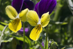 Heartsease. Yellow and purple flowers Royalty Free Stock Photos