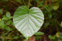 Heartshape叶子 免版税库存照片