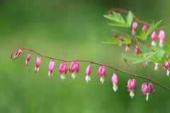 Free Heartstring Royalty Free Stock Photo - 184114245