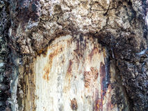 Heartwood earth tone of skin texture Royalty Free Stock Photos