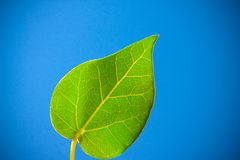 Hearty leaf Royalty Free Stock Image