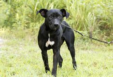 Skinny black Lab Pitbull mix breed dog adoption photograph. In heat female Pit Bull and Labrador mixed breed dog outdoors on leash. Thin and skinny, flakey skin Royalty Free Stock Photos