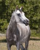 Heat Shot of a Grey Arabian Horse Mare. Head shot of a beautiful grey pure Egyptian arabian horse mare at liberty with a forest background stock photography
