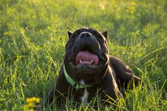 Heat stroke in a dog. Male black purebreeded cane corso with cropped ears lying in grass stock images